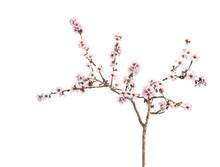 Flor Del Cerezo Aislado