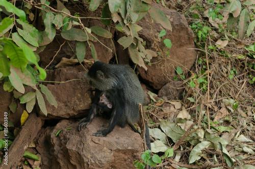 Fotografie, Obraz  Blue monkey's (Cercopithecus mitis)  in Lake Manyara National Park