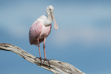 Roseate Spoonbill, Isolated On...