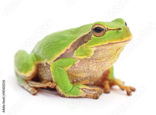 Foto auf Leinwand Frosch Small tree frog.