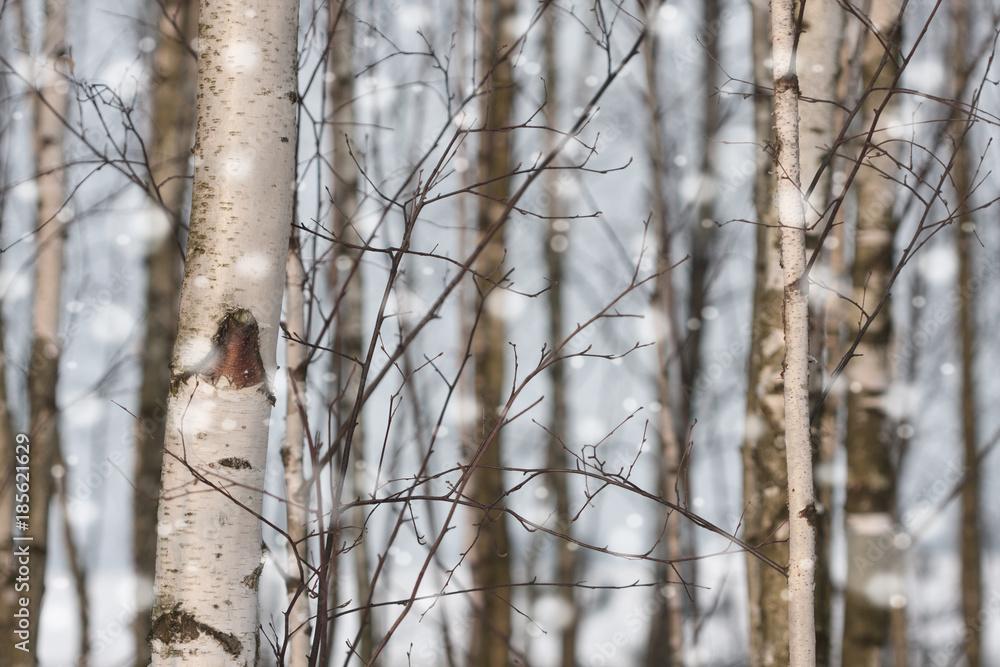 white birches during a snowfall