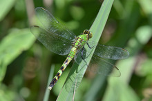 Common Green Darner Dragonfly ...