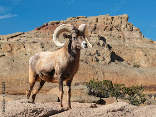 Bighorn sheep ram with large curved horns Wallpaper Mural