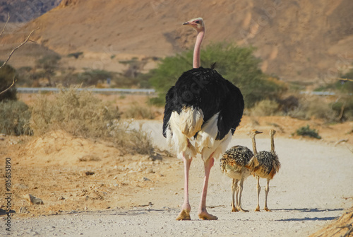 Male of African ostrich (Struthio camelus) with young chicks in nature reserve park, 35 km north of Eilat, Israel