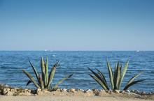 Two Century Plants In The Promenade Of Santa Pola. It Is A Coastal Village Located In The Comarca Of Baix Vinalopo, In The Valencian Community, Alicante, Spain, By The Mediterranean Sea.