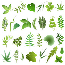 Herb  Leaves. Set Of Hand Drawn Vector Illustrations Of Green Leaves On White Background.