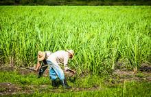 HDR - Kubanische Bauer Und Ern...