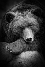 A Cute Brown Bear Sniffing, I ...