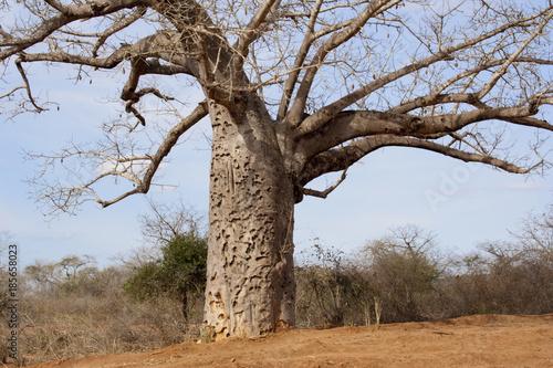 In de dag Baobab Baobab tree in Kenyan savanna.
