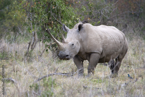 Fotografija  White Rhinoceros or Square-lipped rhinoceros (Ceratotherium simum) in Lake Nakuru national park, Kenya