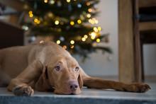 Hungarian Hound Pointer Vizsla Dog Under The Christmass Tree