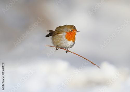 Photo  Very close up photo of European robin (Erithacus rubecula) sits on a snow