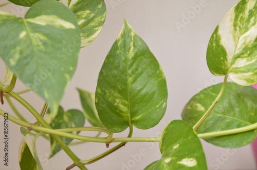 Fotografering  Foglia della pianta rampicante dell'edera