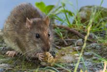 A Cute Brown Rat Enjoying Its ...