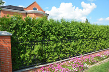 Beautiful House Evergreen Fence From Thuja Plants. Thuja Occidentalis Brabant And Smaragd As Green Fences.