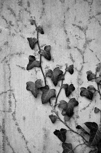 Fotografie, Obraz  Ivy on a cemetery-wall