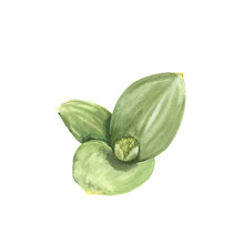 Allium. Hand Made Watercolor I...