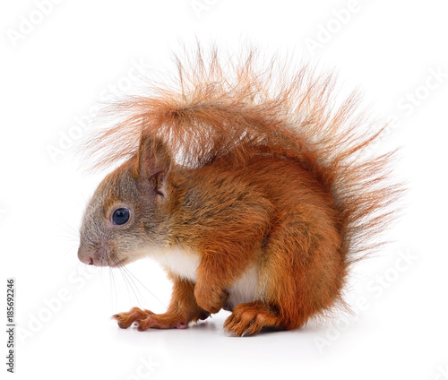 Eurasian red squirrel.