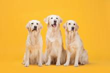 Three Labrador Retriever Dogs ...