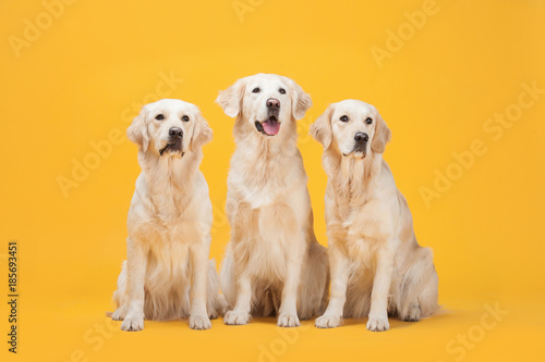 Photo  Three Labrador Retriever dogs isolated against a yellow background