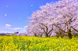 満開の桜と菜の花と桜吹雪