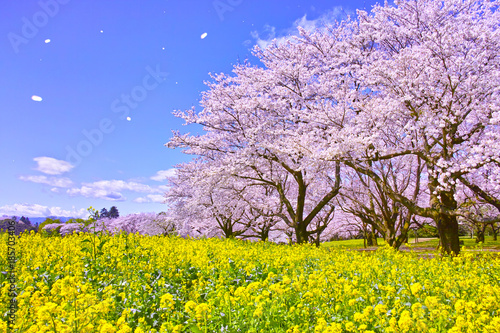 Foto op Plexiglas Kersen 満開の桜と菜の花と桜吹雪
