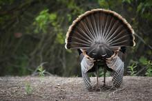 Male Wild Turkey Strutting