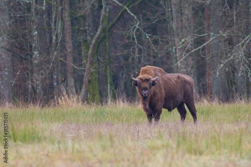 Tuinposter Buffel Żubr
