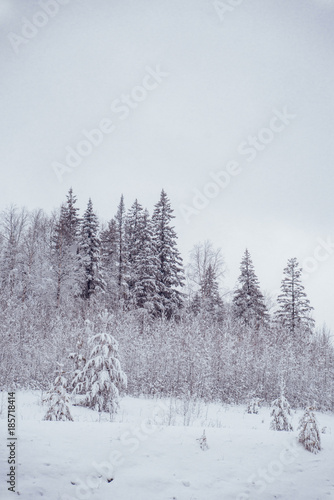 Fotobehang Lavendel Winter landscape. Pine trees covered with snow.