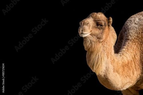 Camel on a black background, a portrait