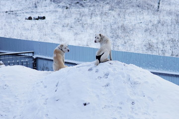 Two Alabai dogs sit on a snowdrift near the fence and look around.
