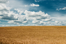 Barley Yellow Field, Blue Sky, White Clouds.