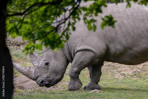 Fototapeta premium Rhinocéros blanc