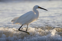 Snowy Egret Wading In The Surf...