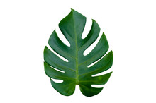 Monstera Leaves Leaves With Is...