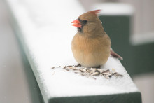 Female Red Northern Cardinal