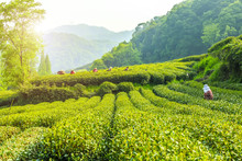 Longjing Tea Garden In West Lake