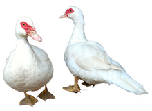 Pair Of Standing White Muscovy Ducks With Red Mask Isolated