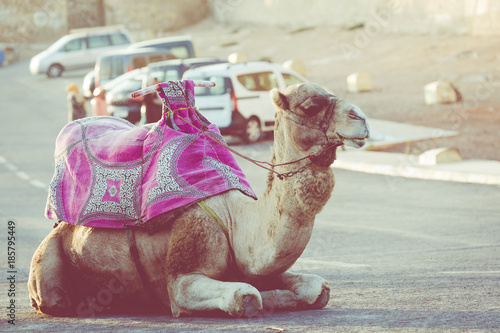 Dromedary for tourist in Agadir, Morocco.