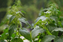 Stinging Nettles (Urtica Dioic...