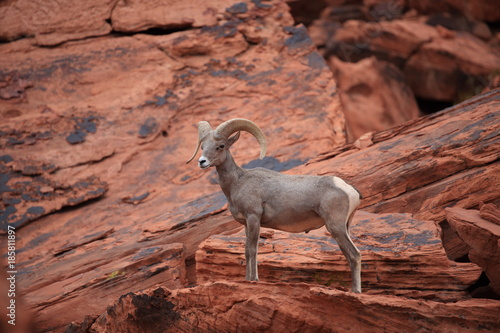 Fotografie, Obraz  Bighorn sheep Valley of Fire Nevada