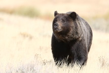 Grizzly Bear In The Lamar Valley In Yellowstone National Park, Wyoming