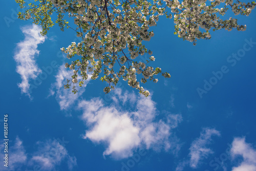 Flowering branch of an apple tree on the background of a spring blue sky and light air clouds