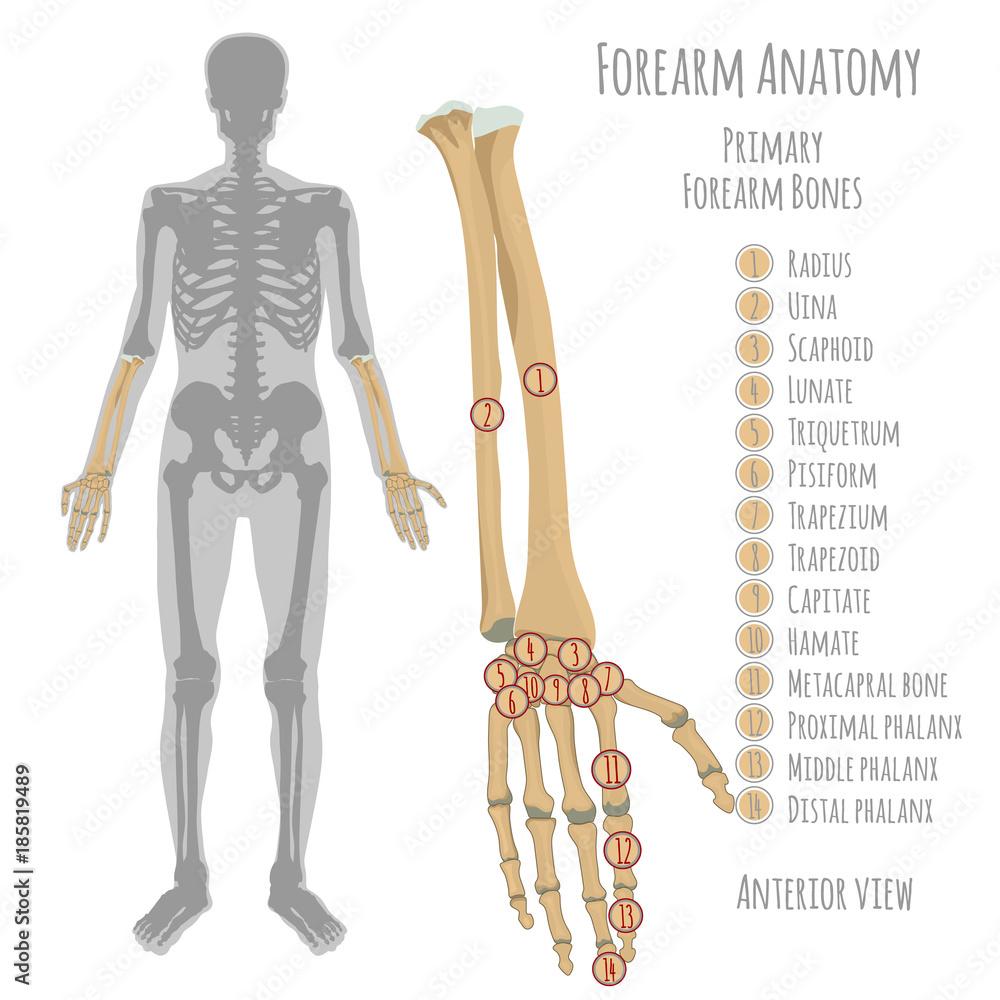 Photo Art Print Male Forearm Bones Anatomy Europosters