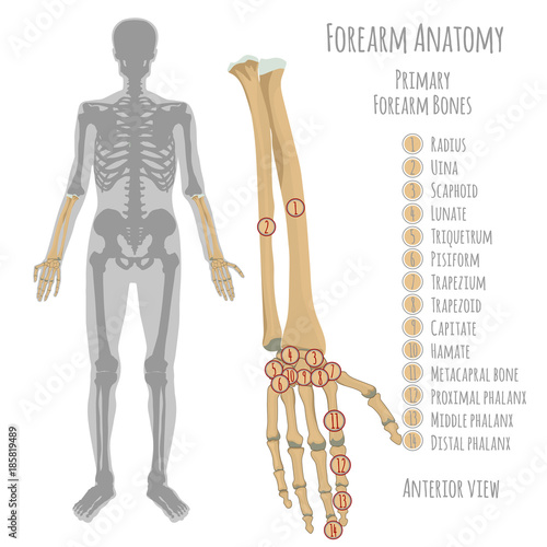 Male forearm bones anatomy - Buy this stock vector and explore ...