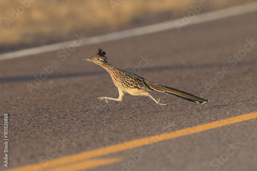 Roadrunner Bosque del Apache wildlife refuge in New Mexico Canvas Print