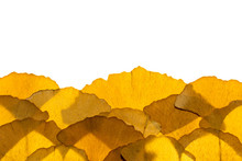 Dried Ginkgo Leaves