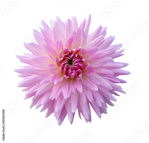 In de dag Dahlia Pink dahlia Flower Isolated on White Background
