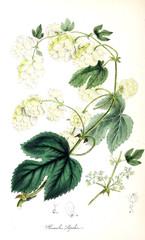 Panel Szklany Botaniczne Botanical illustration. Hops