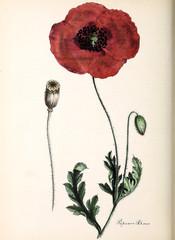 Panel Szklany Botaniczne Red poppy.